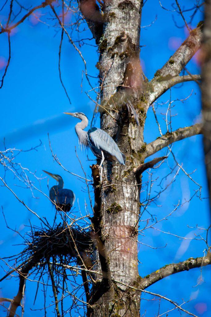 Reiher die ihr Nest beschützen